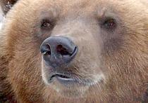 В Новой Москве поймали медвежонка