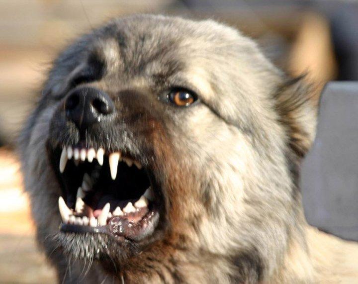 В 5-ти районах Белгородской области ввели карантин из-за бешенства животных